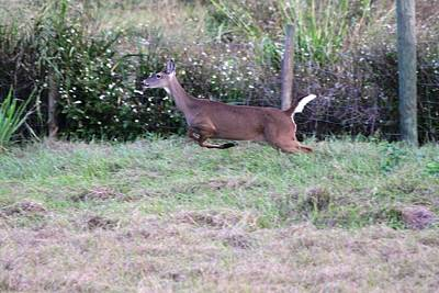 Photograph - Deer At Viera by Jeanne Andrews