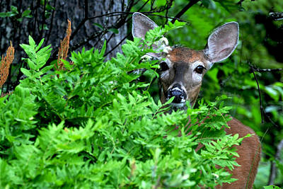Photograph - Deer In The Bush by Peter DeFina
