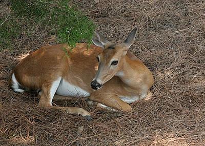 Lisa Williams Photograph - Deer  by Lisa Williams