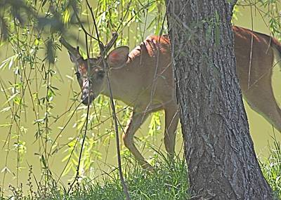 Photograph - Deer Peering Around The Willow Tree by Jeanne Kay Juhos