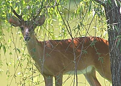 Photograph - Deer Under The Willow Tree by Jeanne Kay Juhos