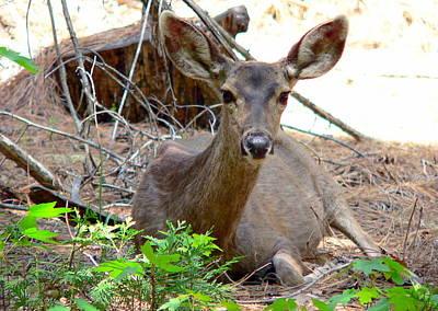 Photograph - Deer Watching by Jeff Lowe