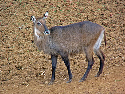 Photograph - Defassa Waterbuck  by Tony Murtagh