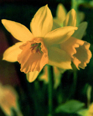 Photograph - Delicate Daffodil  by Emery Graham