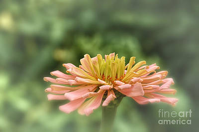 Flower Photograph - Delicate Pedals by Tamera James