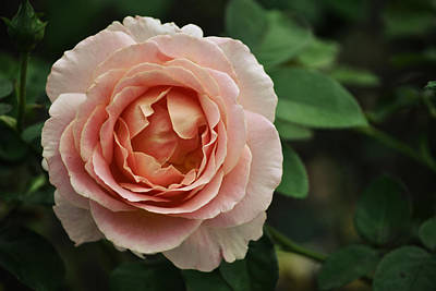 Mellow Yellow - Delicate Pink Rose by Mary Machare