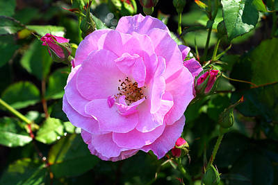 Delicate Pink Wild Rose With Dew Art Print