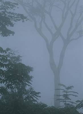 Delicate Trees Appear Out Of The Mist Art Print by Mattias Klum
