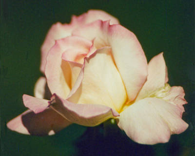 Photograph - Delicate Yellow And Pink by Emery Graham