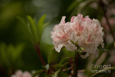 Rhodies Photograph - Delicately Peach by Mike Reid