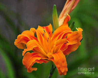 Wild Tiger Lily Photograph - Delightful Daylily by Al Powell Photography USA