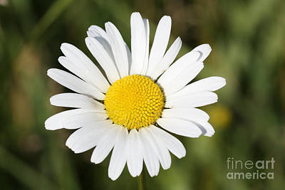 Delightful Summer Daisy Art Print by Inspired Nature Photography Fine Art Photography