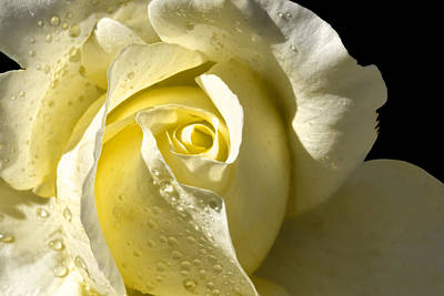 Delightful Yellow Rose With Dew Art Print by Tracie Kaska