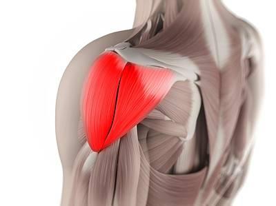 Human Joint Digital Art - Deltoid Muscle, Artwork by Sciepro