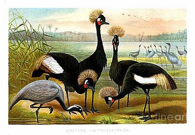 Demoiselle Crane Digital Art - Demoiselle  Black Crowned And Sarus Cranes By Alfred Brehm by Brehm