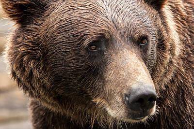Up201209 Photograph - Denali Brown Bear by Josh Whalen