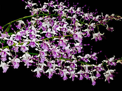 Photograph - Dendrobium Orchids by Chua  ChinLeng