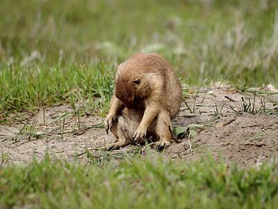 Photograph - Depressed Prairie Dog by HW Kateley