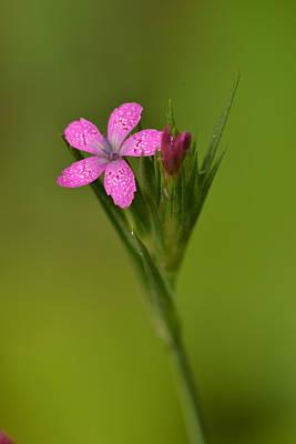 Photograph - Deptford Pink by JD Grimes