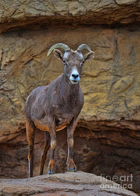 Photograph - Desert Bighorn Sheep Ewe by Donna Greene
