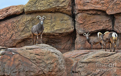 Photograph - Desert Bighorn Sheep Herd by Donna Greene