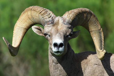 Photograph - Desert Bighorn Sheep by Julie Niemela
