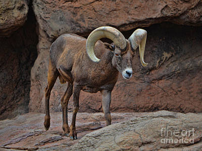 Photograph - Desert Bighorn Sheep Ram I by Donna Greene