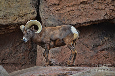 Photograph - Desert Bighorn Sheep Ram II by Donna Greene