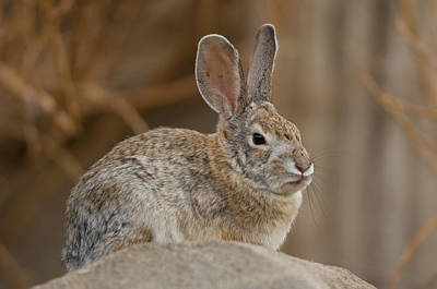 Desert Dome Photograph - Desert Cottontail Rabbits by Joel Sartore