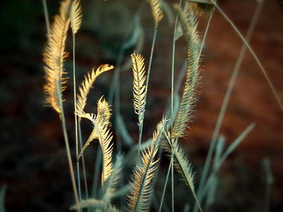 Photograph - Desert Grasses by Cindy Wright
