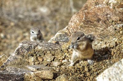 Desert Squirrels Original