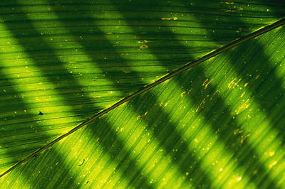 Detail Of A Large Leaf With Shadows Art Print by Bill Curtsinger