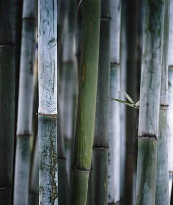 Detail Of Green Bamboo In Bamboo Park Art Print by Axiom Photographic