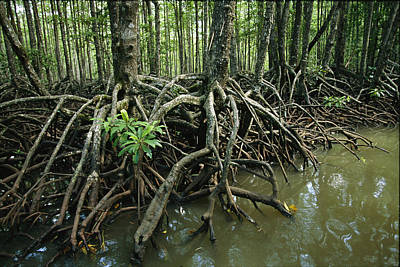 Detail Of Mangrove Roots At The Waters Art Print by Tim Laman