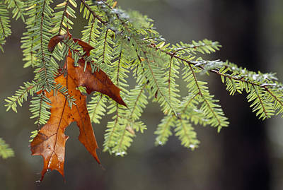 Plant Physiology Photograph - Detail Of Oak Leaf Caught In Hemlock by Raymond Gehman