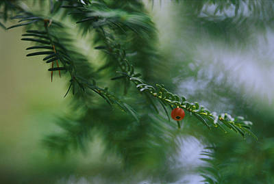 Detail Of Yew Bough With One Red Berry Art Print by Mattias Klum