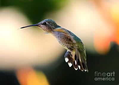 Photograph - Determined Hummingbird by Carol Groenen