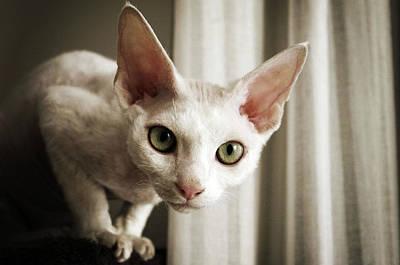 Devon Rex Cat Looking At Camera Art Print by Troydays