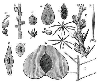 Paleobotanical Photograph - Devonian Fruits, 19th Century Artwork by