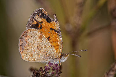Dew Drenched Pearl Crescent Butterfly Art Print by Bonnie Barry