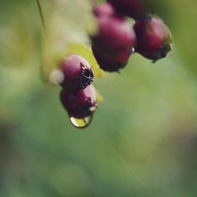 Healthy Eating Photograph - Dew Dripping From Berries by Kirstin Mckee