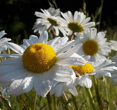 Photograph - Dew Drops And Daisy Tops by Pamela Roberts-Aue
