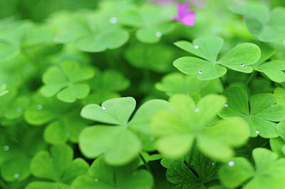 Green Wall Art - Photograph - Dew Drops In Clover Field In Provence by Alexandre Fundone