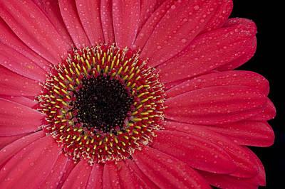 Photograph - Dew On A Pink Gerbera Daisy by Zoe Ferrie