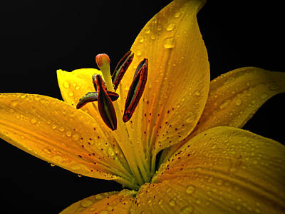 Art Print featuring the photograph Dew On The Daylily by Debbie Portwood