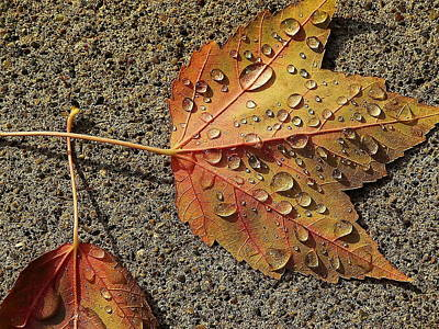 Dew On The Maple Leaf Art Print