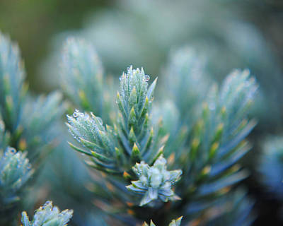 Photograph - Dew On The Pine by Jai Johnson