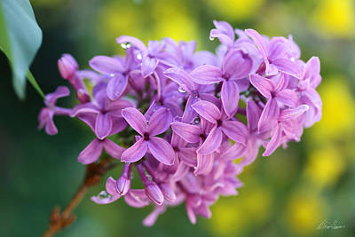Photograph - Dewdrops On Lilacs by Diana Haronis