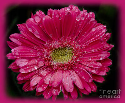 Photograph - Dewey Gerbera by Jim And Emily Bush
