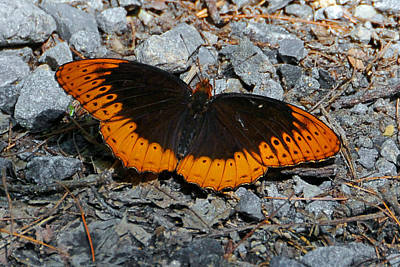 Photograph - Diana Fritillary Male by Alan Lenk